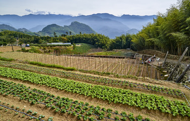 Cultivated fields on the Alishan slopes (Taiwan)
