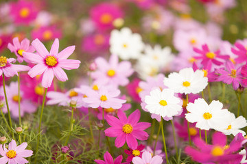 Photo sur Toile Univers cosmos flowers in the garden