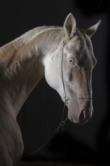 Isabel Akhal-Tekean stallion