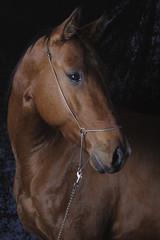 Akhal-tekean stallion