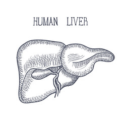 Sketch Ink Human liver, hand drawn, doodle style