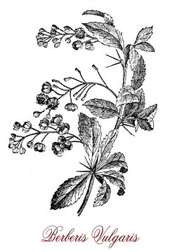 Vintage engraving of Berberis vulgaris or barberry, shrub cultivated as fruit for the red berries rich in vitamin C