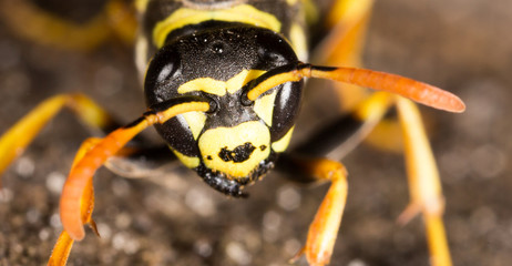 Portrait of a yellow wasp in nature