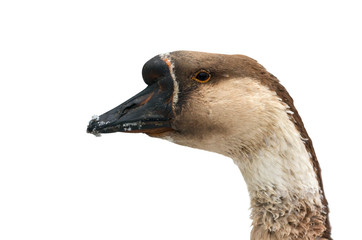 Head of a brown goose close-up isolated on a white background