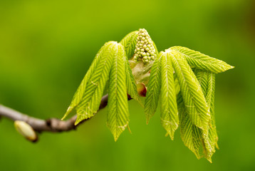 kidney with leaves on a chestnut tree in spring