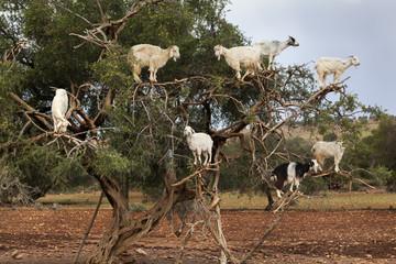 Goats climbing in argan tree