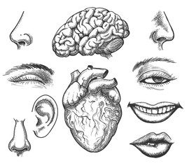 Human face and organs. Human head organ set like eye, nose and mouth and vintage illustration of brain and engraving heart