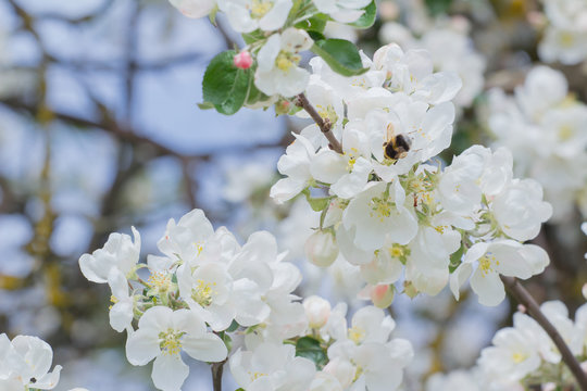 Bumblebee flying around white flowers and buds of garden apple tree outdoors