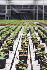 Seedlings of flowers. Large greenhouse with pots with seedlings of flowers.
