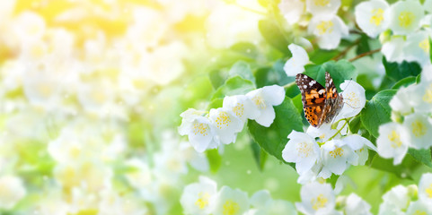Beautiful butterfly sits on lush jasmine flowers. Spring natural background for design.