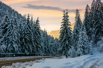 winter scenery in spruce forest. beautiful nature background in evening