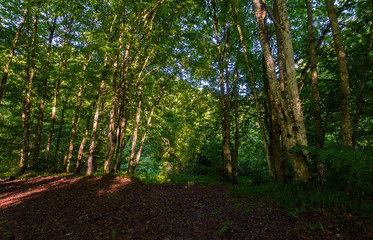 summer forest in the morning. beautiful nature background