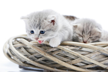 Little fluffy grey funny kitten meowing and looking down while sitting in white wicker wreath together with other adorable kitties. Curious cute amusing pretty cats cuteness exploring