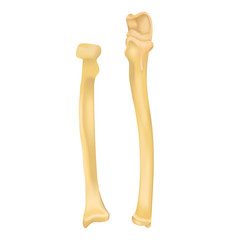 Radius and Ulna bone