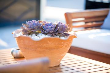 Suculenta in a flower pot