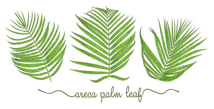 Leaves of areca palm elements set. Botany hand drawn graphic illustration. Collection of areca foliage on a white background
