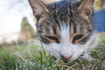closeup of cat head eating something in grass outdoor shot