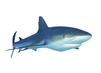 Shark isolated. Caribbean Reef Shark cutout white background