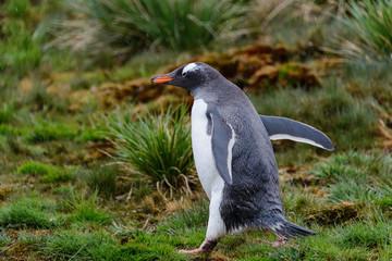 Wet gentoo penguine in green grass in rainy weather