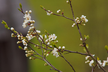 Selective focus on a blooming plum-tree branch