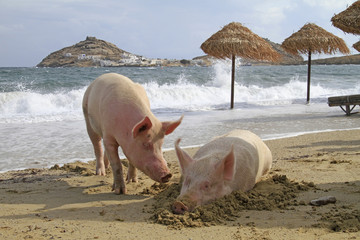 Pigs relaxing at a beach in Mykonos, Greece