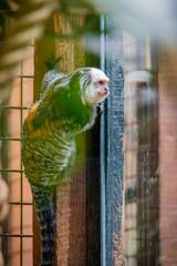Le Tamarin Pinché dans un parc zoologique