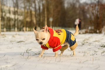 chihuahua walks in winter