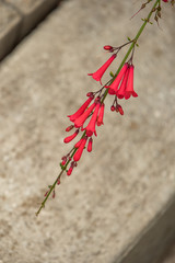 Red bell shaped flowering plant