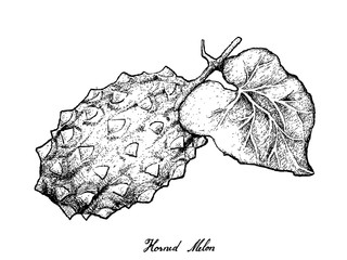 Hand Drawn of Horned Melon or Kiwano