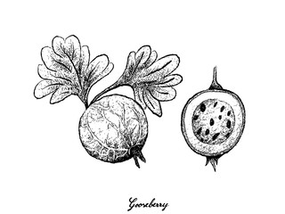 Hand Drawn of Gooseberry on White Background