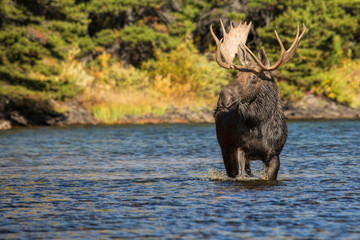 Bull Moose on the Move