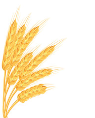 A set of spikelets of golden wheat, rye, barley on a white background of various shapes. Vector illustration.