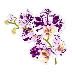 Branch orchids spotted purple and white flowers  Phalaenopsis tropical plant on a white background  vintage vector botanical illustration for design hand draw