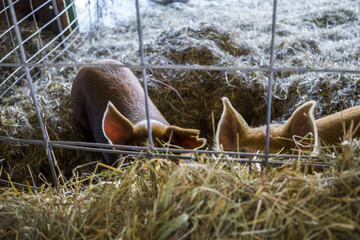 Close-up of pigs on hay seen through fence at barn