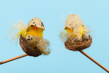 Easter holiday concept with 2 easter chicks on a blue background with copy space