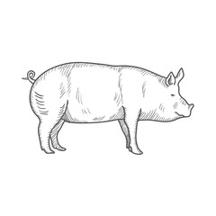 Pig vintage engraved illustration isolated on a white background. Vector