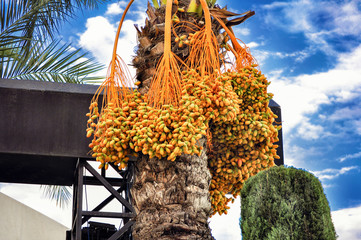 A date-palm with bunches of dates on the background of blue sky.