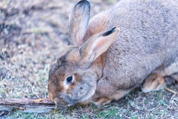 Big fat rabbit sitting on a grass