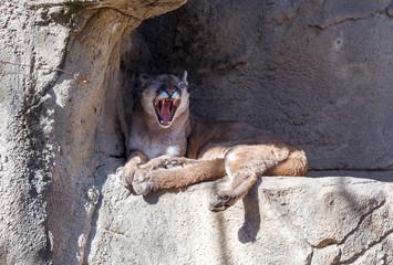 Printed kitchen splashbacks Puma Large adult puma laying under a rock