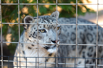 Young snow leopard in a zoo behind the cage