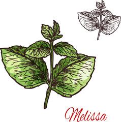 Melissa leaf sketch of medical plant and aroma herb