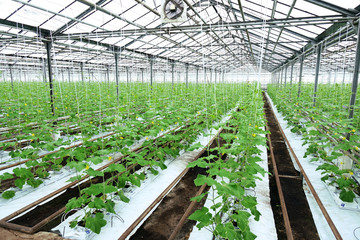 Growing cucumbers in a greenhouse.