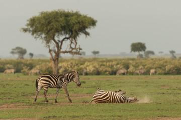 zebra rolling in the dirt on the grasslands of the Maasai Mara, Kenya