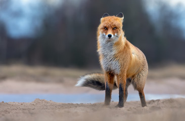 Windy Red Fox posing on field road in stormy winter conditions