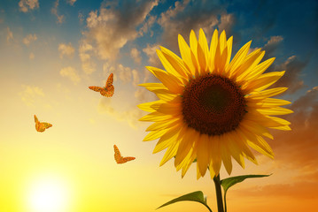 Blooming sunflower with butterflies at sunset. Spring season.