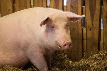 Portrait of a big pink female domestic pig on a farm