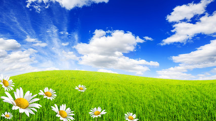 Wall Mural - Wild daisies in the green field with a blue sky