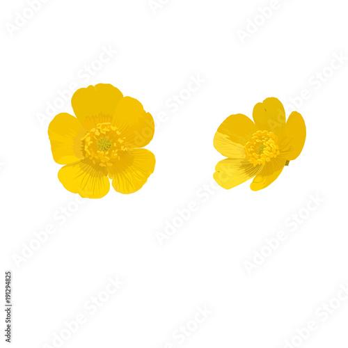 c3301f7486d1b Buttercup. Yellow flower. Vector illustration.