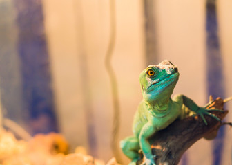 .Reptile is the Common Basilisk sitting on a tree at a pet store. Terrarium. .