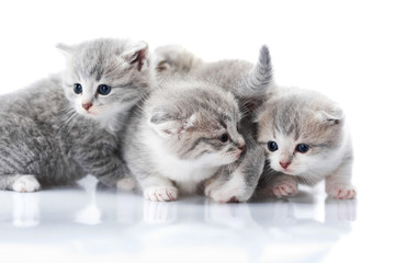 Little grey kittens with blue eyes being curious and exploring surrounding world. Photoset in studio on white background. Small gray cats fluffy funny adorable playing cute animals happiness love